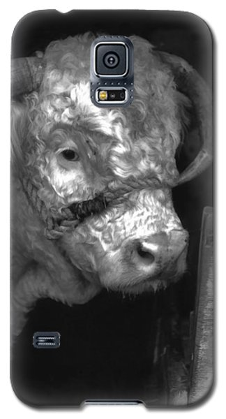 Hereford Bull In Black And White Galaxy S5 Case