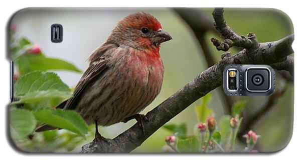 House Finch In Apple Tree Galaxy S5 Case