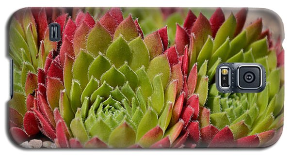 Houseleeks Aka Sempervivum From The Side Galaxy S5 Case