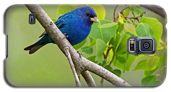 Blue Indigo Bunting Bird  Galaxy S5 Case by Luana K Perez