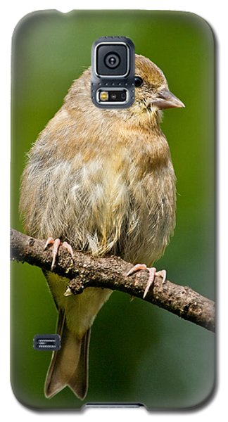 Juvenile American Goldfinch Galaxy S5 Case