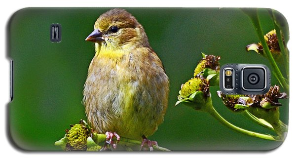Galaxy S5 Case featuring the photograph Late Summer Finch by Rodney Campbell