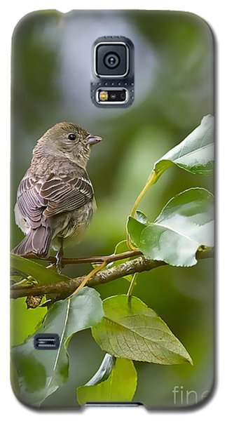 Lazuli Bunting Female 2 Galaxy S5 Case by Sharon Talson