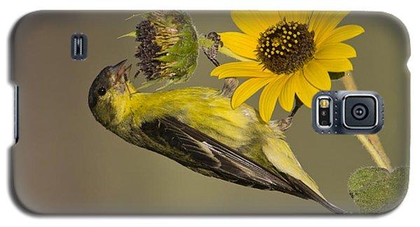 Lesser Goldfinch On Sunflower Galaxy S5 Case by Bryan Keil