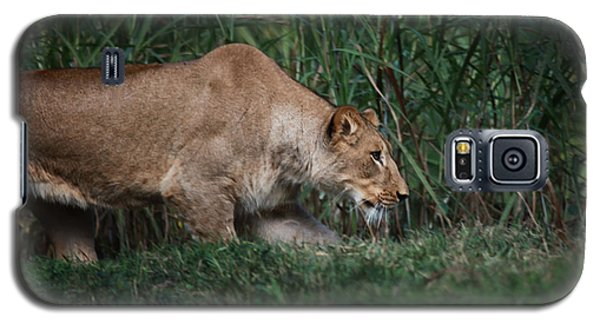 Lioness Stalking Galaxy S5 Case by Joseph G Holland