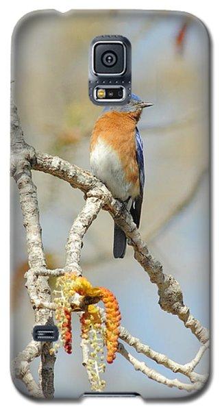 Male Bluebird In Budding Tree Galaxy S5 Case