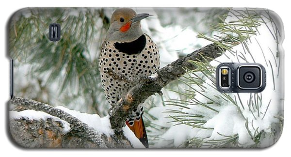 Northern Flicker On Snowy Pine Galaxy S5 Case by Marilyn Burton