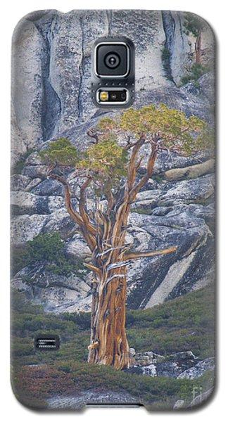 Old Juniper Pine  Galaxy S5 Case