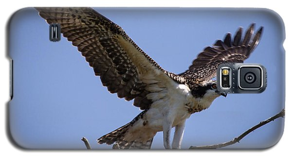 Osprey In Nest Ready To Fly Galaxy S5 Case