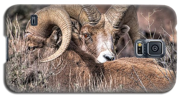 Peekaboo Bighorn  Galaxy S5 Case by Britt Runyon