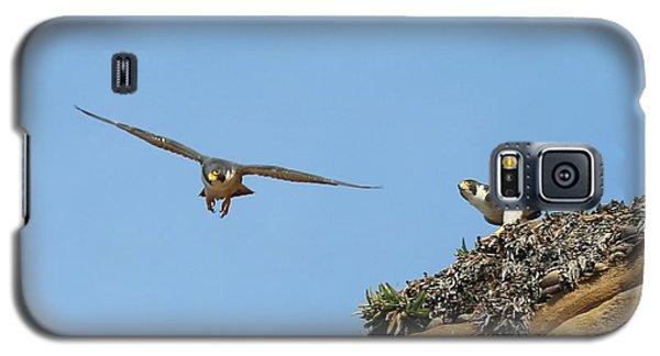 Peregrine Falcons - 1 Galaxy S5 Case