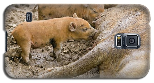 Pigs Reared For Pork On Tuvalu Galaxy S5 Case by Ashley Cooper
