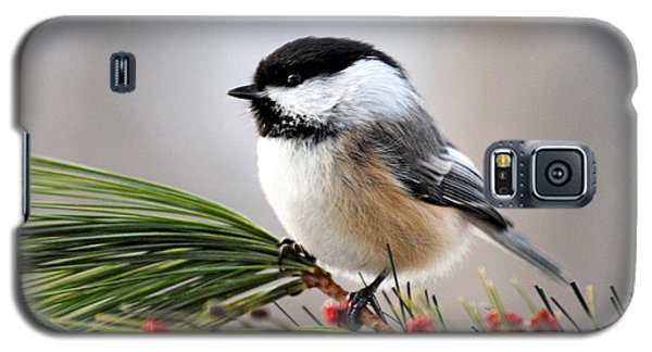Pine Chickadee Galaxy S5 Case by Christina Rollo