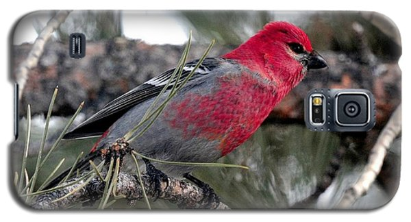 Pine Grosbeak On Ponderosa Pine Tree Galaxy S5 Case by Marilyn Burton