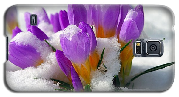 Purple Crocuses In The Snow Galaxy S5 Case