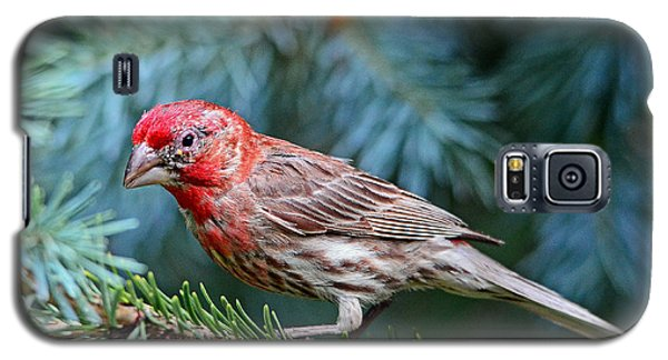 Galaxy S5 Case featuring the photograph Purple Finch In A Spruce Tree by Rodney Campbell