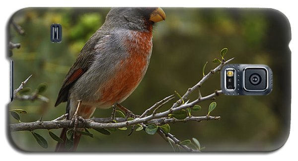 Pyrrhuloxia Portrait Galaxy S5 Case
