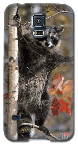 Galaxy S5 Case featuring the photograph Racoon In Tree by Chris Scroggins