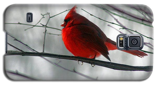 Red Cardinal On Winter Branch  Galaxy S5 Case