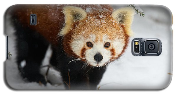 Galaxy S5 Case featuring the photograph Red Panda In The Snow by Nick  Biemans