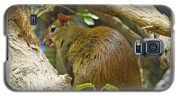 Red-rumped Agouti Galaxy S5 Case