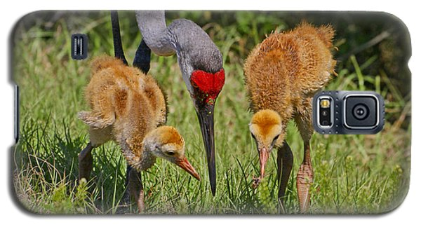 Sandhill Crane Family Feeding Galaxy S5 Case