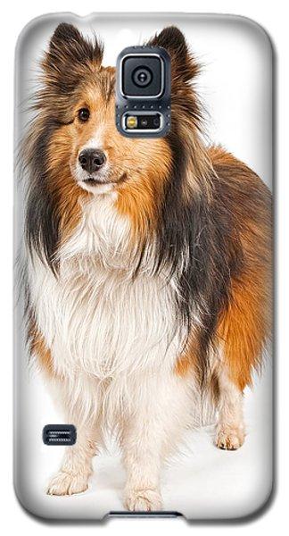Shetland Sheepdog Dog Isolated On White Galaxy S5 Case