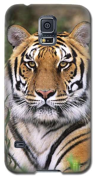 Siberian Tiger Staring Endangered Species Wildlife Rescue Galaxy S5 Case