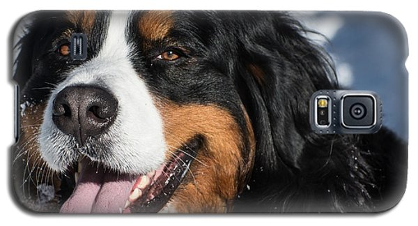 Smiling Bernese Mountain Dog In Winter Snow Galaxy S5 Case