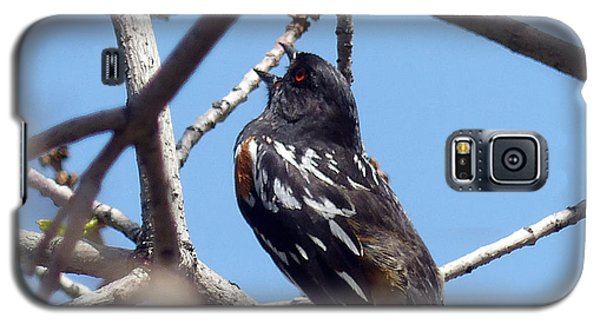 Spotted Towhee Singing Galaxy S5 Case