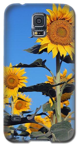 Sunflowers In Bloom Galaxy S5 Case