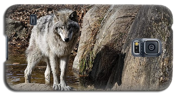 Galaxy S5 Case featuring the photograph Timber Wolf In Pond by Wolves Only