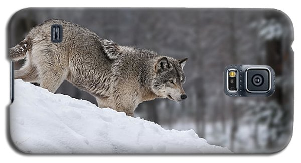 Timber Wolf On Hill Galaxy S5 Case by Wolves Only