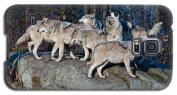Timber Wolf Pack Galaxy S5 Case by Wolves Only