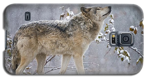 Timber Wolf Pictures 188 Galaxy S5 Case by Wolves Only