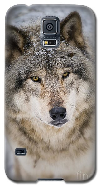 Timber Wolf Pictures 254 Galaxy S5 Case by Wolves Only