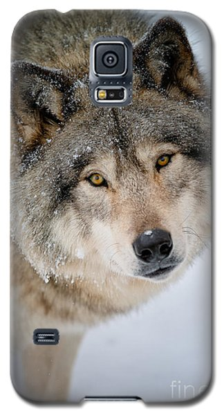 Timber Wolf Pictures 255 Galaxy S5 Case by Wolves Only
