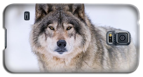 Timber Wolf Pictures 256 Galaxy S5 Case by Wolves Only