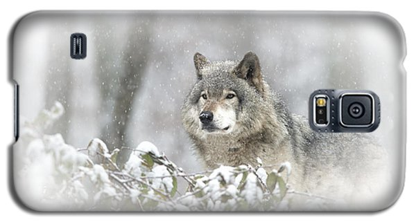 Timber Wolf Pictures 279 Galaxy S5 Case by Wolves Only