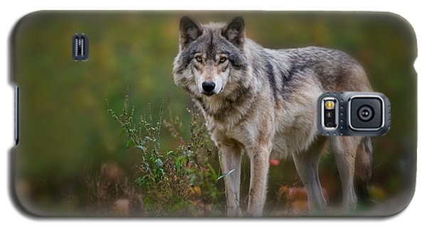 Timber Wolf Pictures 401 Galaxy S5 Case
