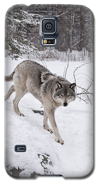 Galaxy S5 Case featuring the photograph Timber Wolf  by Wolves Only