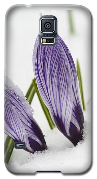 Two Purple Crocuses In Spring With Snow Galaxy S5 Case