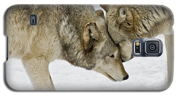 Two Wolves In  A Staredown Galaxy S5 Case by Gary Slawsky