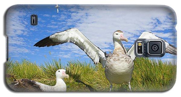 Wandering Albatross Courting  Galaxy S5 Case by Yva Momatiuk John Eastcott