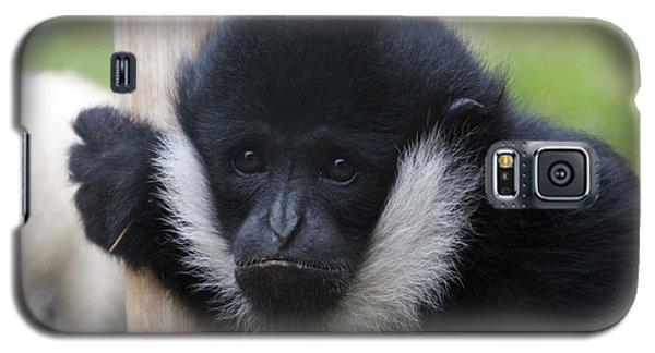 White-cheeked Gibbon - 0007 Galaxy S5 Case by S and S Photo