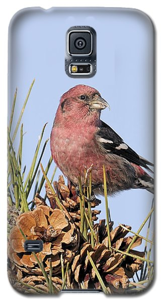 White-winged Crossbill On Pine Galaxy S5 Case by Allan Rube