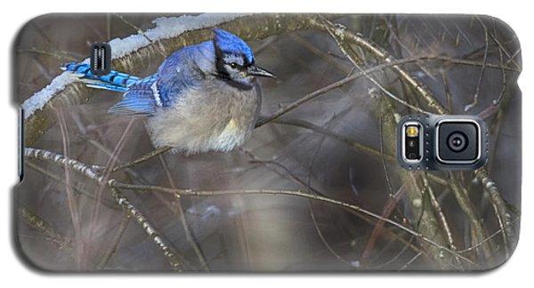 Winter Blue Jay Galaxy S5 Case by Gary Hall