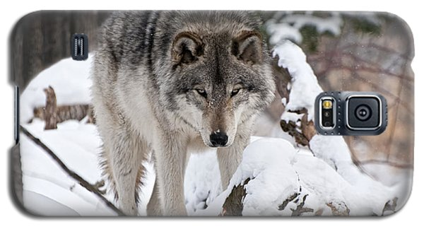 Galaxy S5 Case featuring the photograph Winter Timber Wolf by Wolves Only