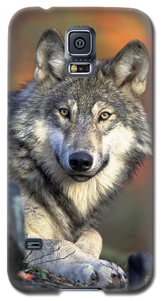 Galaxy S5 Case featuring the photograph Wolf Predator Canidae Canis Lupus Hunter by Paul Fearn