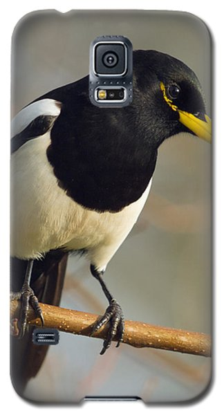 Yellow-billed Magpie Galaxy S5 Case